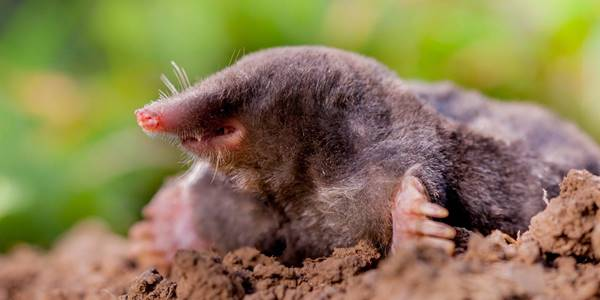 Of Mice and Moles - How to save your garden from pests